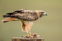 Red Tailed Hawk with Prey