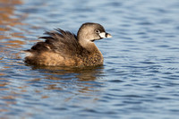 Pied-Billed Grebe feather