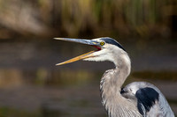 Blue Heron Open Mouth