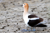 Avocet and baby