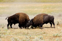 Bison Battle
