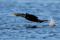 Cormorant Flying Above Water